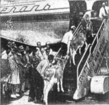 Greek War Relief baby cattle loading up passenger stairs of Veterans Air DC-4.