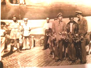 1946 Aug. Three baby cows donated by The Borden Co. delivered to Athens by Veterans Air crewman on behalf of UNRRA.
