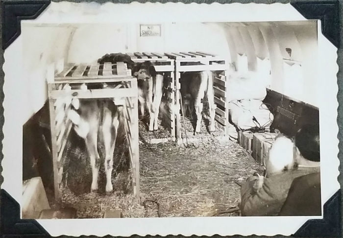 """Rare photo shows the Athens-bound calves """"housed"""" in crates in the Veterans Air DC-4. Young handler, Gus Kaloss, leanes over between the crates and uses a scooping shovel to clean the straw-covered floor."""